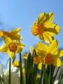 Miniature Narcissus 'Jetfire'