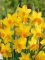 Miniature Narcissus 'Jetfire' (Pack of 20 Bulbs)