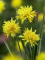 Miniature Narcissus 'Rip Van Winkle'