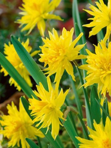 Miniature Narcissus 'Rip Van Winkle' (Pack of 20 Bulbs)