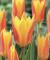 Guiseppe Verdi Tulips