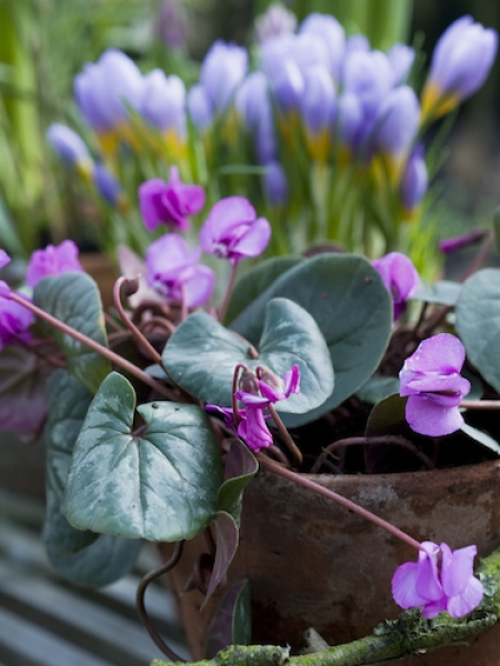 Cyclamen Coum (Pack of 5 Bulbs)