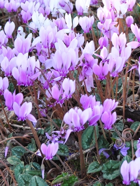 Cyclamen Hederifolium (Pack of 3 Bulbs)