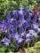 Chinodoxa and Muscari Latifolium