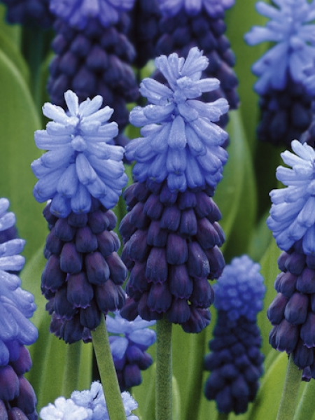 Muscari Latifolium (Pack of 20 Bulbs)
