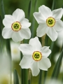 Narcissus 'Pheasant's Eye'
