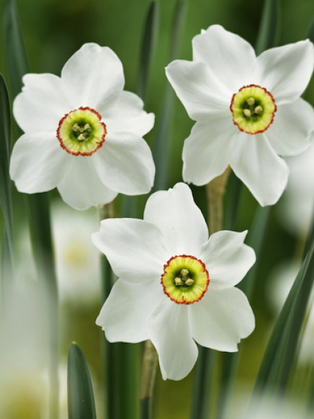 Narcissus 'Pheasant's Eye' (Pack of 20 Bulbs)