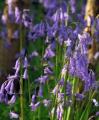 Hyacinthoides Non-Scripta Blue bells