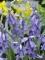 Hyacinthoides Non-scripta Blue Bells (Pack of 20 Bulbs)