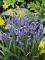 Hyacinthoides Bluebells