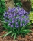 Hyacinthoides Non-scripta Blue Bells (Pack of 20 Bulbs)