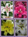 'Tree like' Lily Bulb Collection (Pack of 12 Bulbs)
