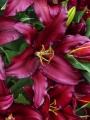 Firebolt lily