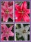 Oriental Lily Bulb Collection (Pack of 12 Bulbs)
