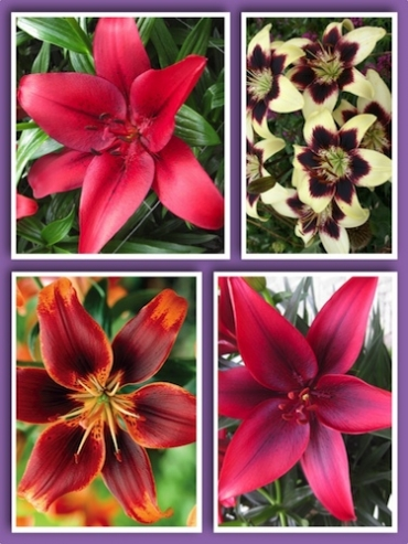 Asiatic Lily Bulb Collection (Pack of 12 Bulbs)