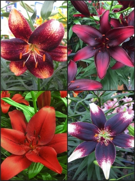 'Asiatic' Lily Bulb Collection (Pack of 12 Bulbs)