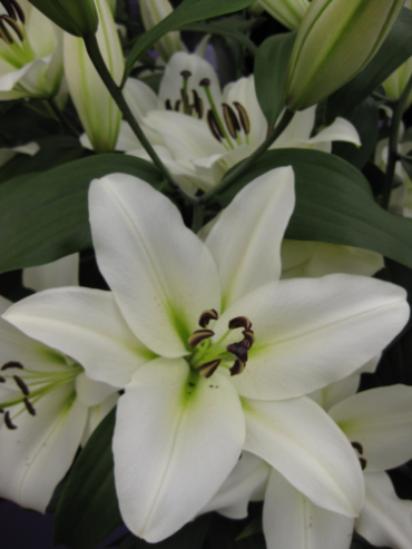 Lily 'Cyclone'