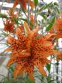 Lily 'Flore Pleno'