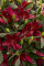 Firebolt Lily bulbs