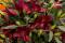 Firebolt Lilies at RHS Chelsea Flower Show