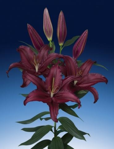 Lily 'Firebolt'