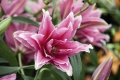 Roselily Elena - Double flowering lily