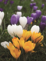 Mixed Crocus Collection (Pack of 50 Bulbs)