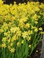 Tete  Daffodils