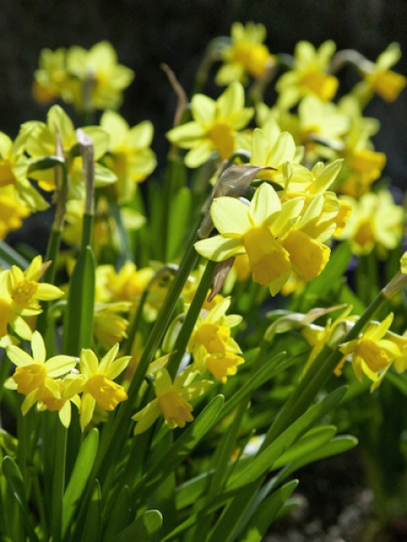 Miniature Narcissus 'Tete-a-Tete' (Pack of 30 Bulbs)