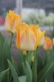 Collection of Golden Dynasty Tulips