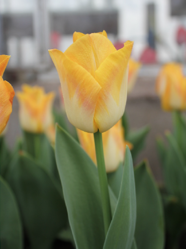 Tulip 'Golden Dynasty' (Pack of 15 Bulbs)