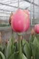 Russian Princess with opening Bud