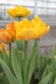 Sunlover Tulip in Yellow