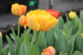 Collection of Sunlover Tulips