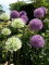 Mixed Alliums in the garden