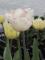 Tulip 'Shirley' (Pack of 15 Bulbs)