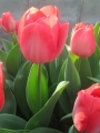 Van Eijk tulip