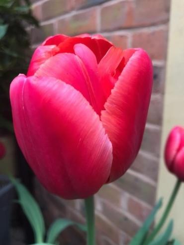 Tulip 'Van Eijk' (Pack of 15 Bulbs)