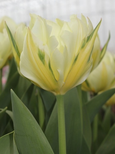 Exotic Emperor (Pack of 20 Bulbs)