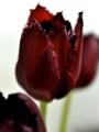 Tulip 'Vincent Van Gogh'