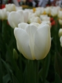 Tulip 'Angels Wish'
