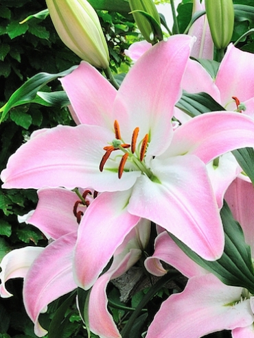 Lily 'Lucille'