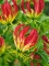 Gloriosa The Flame Lily