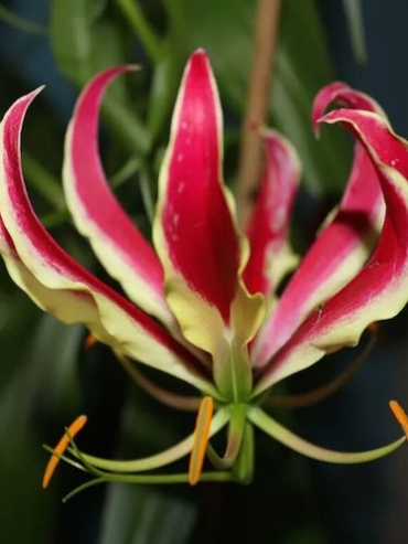 Gloriosa (Pack of 3 Rhizomes/Bulbs)