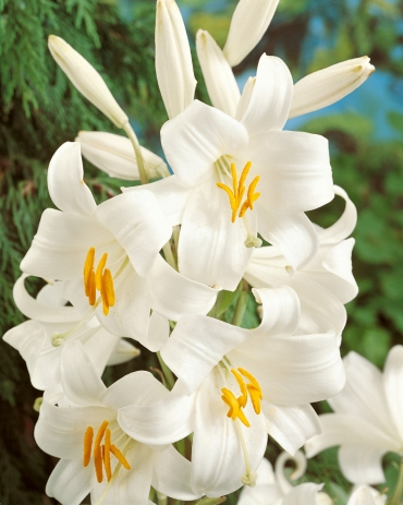 Lilium Candidum (Madonna Lily) Pack of 3 Bulbs