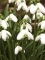 Snowdrops (Pack of 40 Bulbs)
