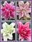 Roselily Bulb Collection (Pack of 10 Bulbs)