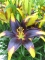 Lionheart Asiatic Lily