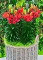 Tiny Rocket Lilies