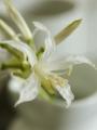 Nerine Bowdenii Alba (white)